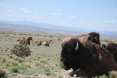 Buffalo Bull Rests with Cows While Horses Run In Background Royalty Free Stock Photo