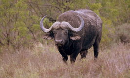 Buffalo Bull in South Africa. A huge Cape Buffalo bull in this image. South Africa Royalty Free Stock Photo