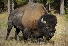 Buffalo Bull Stock Photo