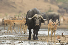 Buffalo bull (Syncerus caffer) amongst Impala Stock Image