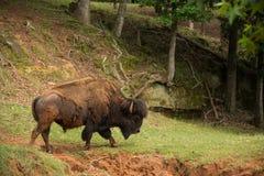 Buffalo bull walking along a streambed Royalty Free Stock Image
