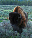 Buffalo Bull walking in Yellowstone National Park (Wyoming USA) with his breath 'fog' coming out Stock Image