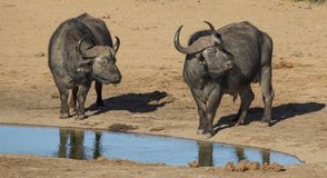 Buffalo Bulls with Large Horns at Waterhole Royalty Free Stock Images
