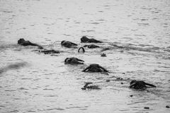 Buffalo in BW. The Buffalos swimming across river Royalty Free Stock Images