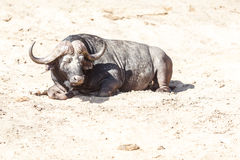 Buffalo calda Fotografia Stock Libera da Diritti