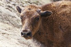 Buffalo calf Stock Photos