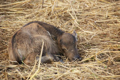 Buffalo Calf Royalty Free Stock Photo