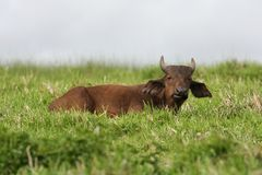 Buffalo Calf Stock Photo