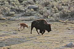 Buffalo and calf. Buffallo shedding its winter coat and newly born calf stays close to it's mother in Yellowstone National Park at sunrise Royalty Free Stock Photo