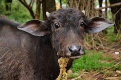 Buffalo Calf In Rural Villages