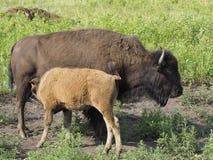 Buffalo Calf and It`s Mother North Dakota Stock Photo