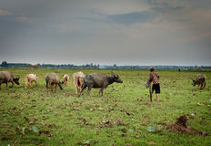 Buffalo calf in thailand with farmer Stock Images