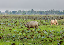 Buffalo calf in thailand. Buffalo in north east province ubon in thailand in lotus field Royalty Free Stock Image