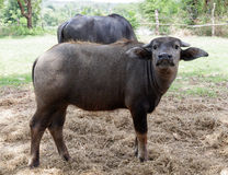 Buffalo calf in thailand. Buffalo in north east province ubon in thailand in lotus field Stock Image
