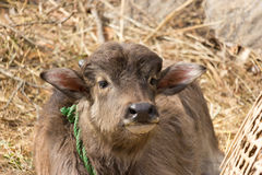 Buffalo Calf. Very cute domesticated water buffalo calf, in the himalayas of Nepal Royalty Free Stock Photography