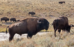 Buffalo Callng Stock Photos