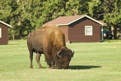 Buffalo in camp stock photography