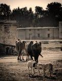 Buffalo & cani in un villaggio Fotografia Stock Libera da Diritti