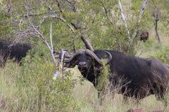 buffalo cape afrykański Zdjęcia Royalty Free