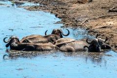 buffalo cape kariba jeziora fotografujący Zimbabwe Zdjęcia Stock