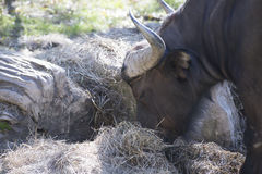 buffalo cape kariba jeziora fotografujący Zimbabwe Fotografia Royalty Free