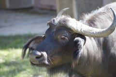 buffalo cape kariba jeziora fotografujący Zimbabwe Fotografia Stock