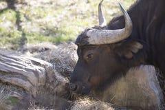 buffalo cape kariba jeziora fotografujący Zimbabwe Zdjęcie Stock