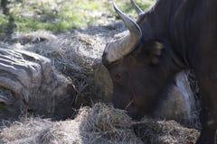 buffalo cape kariba jeziora fotografujący Zimbabwe Obraz Stock