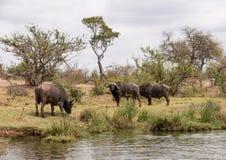 buffalo cape kariba jeziora fotografuj?cy Zimbabwe fotografia stock