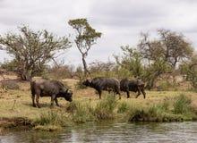 buffalo cape kariba jeziora fotografuj?cy Zimbabwe obrazy royalty free