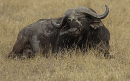 Buffalo. Cape Buffalo sat in golden grass being picked clean by a red billed oxpecker Royalty Free Stock Photo