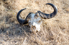 Buffalo carcass in Kruger Park South Africa Royalty Free Stock Photo