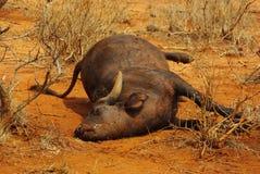 Buffalo carcass Royalty Free Stock Images