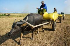 Buffalo cart transport paddy in rice sack Royalty Free Stock Images