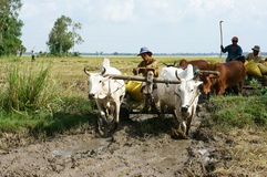 Buffalo cart transport rice that just harvest Royalty Free Stock Photos