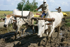 Buffalo cart transport rice in rice sack Stock Photo