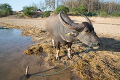 Buffalo. Cattle cross the border at the Moei river, Mae Sot, Thailand Stock Photo