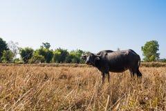 Buffalo, celf, Tailandia, campo Immagine Stock