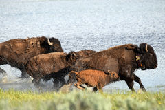 Buffalo charge Royalty Free Stock Images