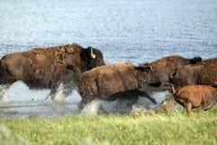 Buffalo charge Stock Photo