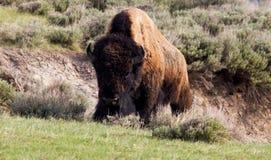 Buffalo che arrampica in su una collina Fotografie Stock