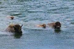 Buffalo che attraversa il fiume Yellowstone immagini stock