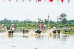 Buffalo che corrono sull'azienda agricola del riso Fotografia Stock Libera da Diritti