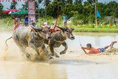 Buffalo che corrono sull'azienda agricola del riso Fotografia Stock