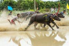 Buffalo che corrono sull'azienda agricola del riso Fotografie Stock