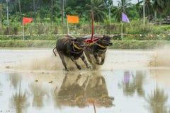 Buffalo che corrono sull'azienda agricola del riso Immagine Stock Libera da Diritti