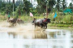 Buffalo che corrono sull'azienda agricola del riso Fotografie Stock Libere da Diritti