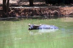 Buffalo che galleggia in acqua Fotografie Stock