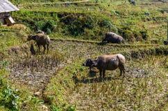 Buffalo che pasce sul campo fotografie stock