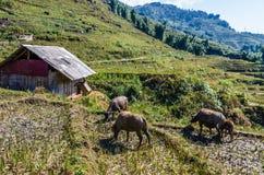Buffalo che pasce sul campo immagine stock libera da diritti